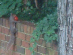 Squirrel carrying away one of my tomatoes.