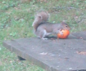 Squirrel feasting on one of my tomatoes.