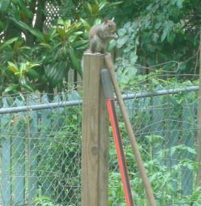 Squirrel on top of the post by my tomatoes